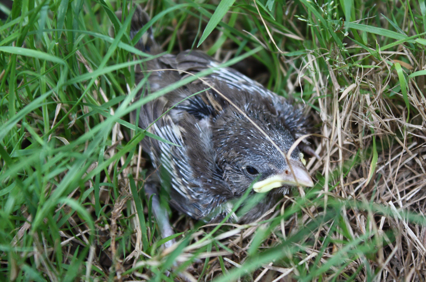 When To Help A Baby Bird And When To Leave It Alone Wbur S The Wild Life