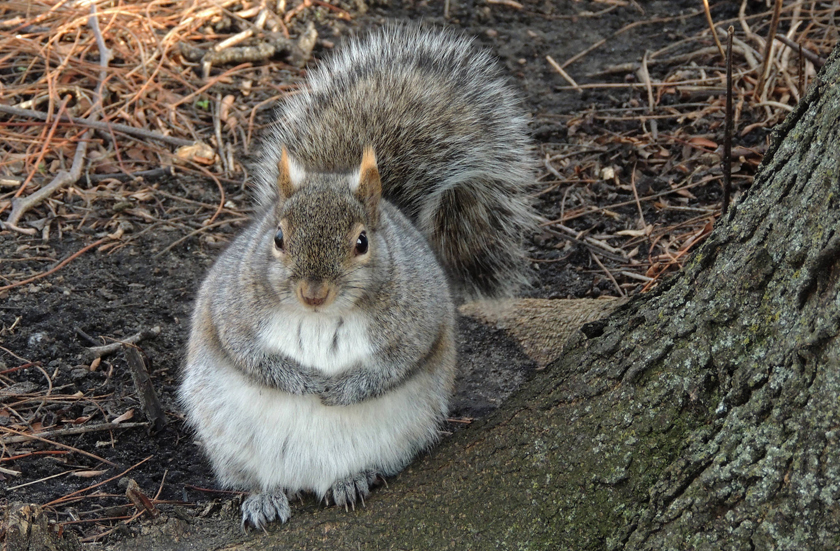 Surge In Super Fat Squirrels Wbur S The Wild Life link it's pretty great that a squirrel prepares to hibernate itself during the wintertime, at least it's chubby. wbur