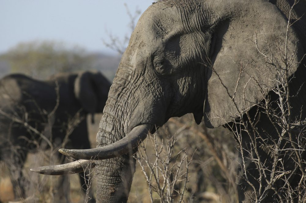 In this file photo taken Friday, Sept. 30, 2016, an elephant walks through the bush at the Southern African Wildlife College on the edge of Kruger National Park in South Africa. The Chinese government said in a statement released on Friday Dec. 30, 2016, it will shut down its official ivory trade at the end of 2017 in a move designed to curb the mass slaughter of African elephants. (Denis Farrell/AP)